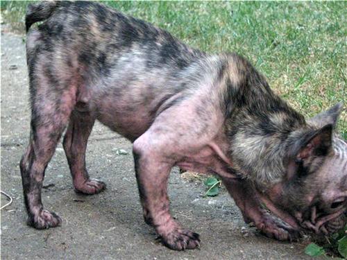 Bulldogge grau
